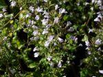 Petit calament, Calament faux népéta, Clinopodium nepeta