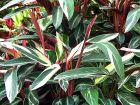 Calathéa plume de paon Triostar, Calathéa tricolore, Plante paon Triostar, Stromanthe sanguinea 'Triostar