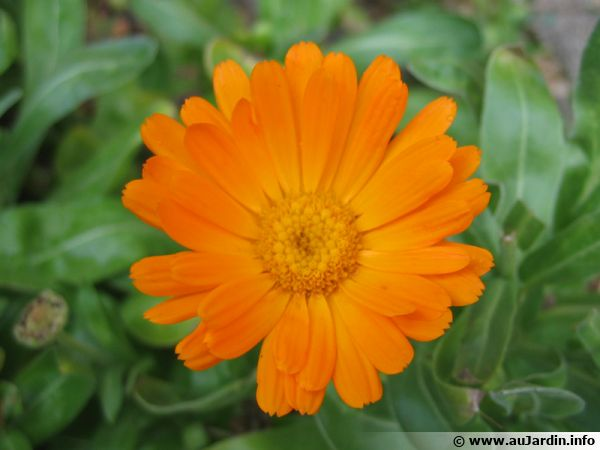 Souci calendula officinalis planter cultiver multiplier for Fleurs de jardin photos