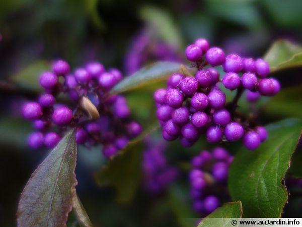 callicarpe de bodinier  arbuste aux bonbons  callicarpa