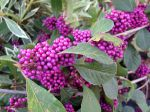 Un arbuste aux baies violettes très décoratif l'automne venu