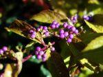 Arbuste aux bonbons violets, Callicarpa dichotoma