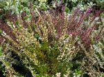 Callune, Bruyère commune, Calluna vulgaris