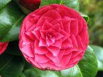 Fleur de cam�lia