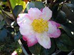 Fleur de cam�lia sasanqua 'Paradise Susan'