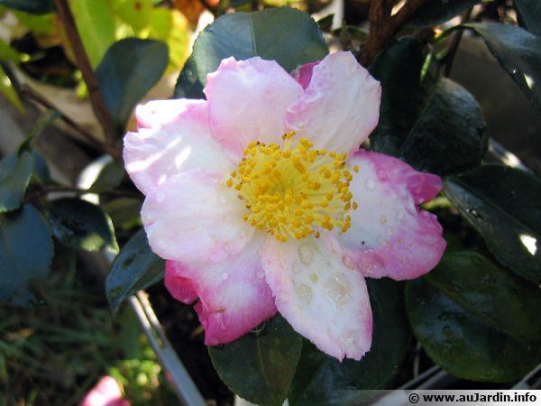 Camelia D Automne Camellia Sasanqua Planter Cultiver Multiplier
