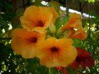 Bignone jaune, Campsis radicans 'Flava'