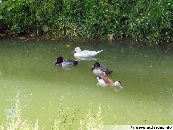 Les oiseaux aquatiques du bassin - Bassin canard d ornement pau ...