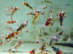 Le shubunkin, un petit poisson coloré