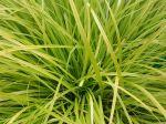 Carex d'Oshima, La�che d'Oshima, La�che japonaise, Carex oshimensis