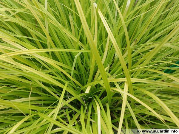 Carex d'Oshima, Laîche d'Oshima, Laîche japonaise, Carex oshimensis