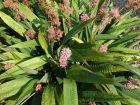 Laiche de Chine, Carex de Chine,  Carex scaposa