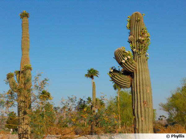 Le sage du désert, Saguaro, Carnegiea gigantea