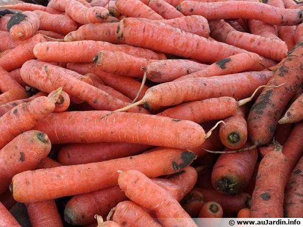 Des carottes...