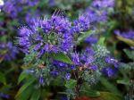 Barbe bleue, Caryopteris de Clandon, Spirée bleue, Caryoteris x clandonensis