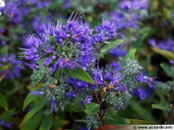 barbe bleue  caryopteris de clandon  spir u00e9e bleue
