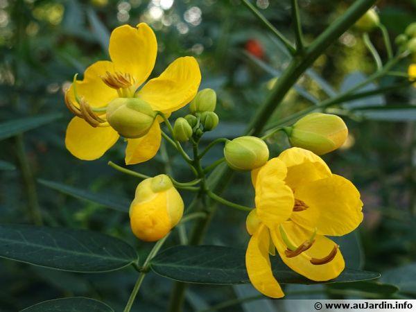 Cassier, Cytise indien, Faux séné, Cassia fistula