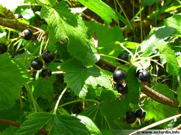 Le cassis, fruit du cassissier