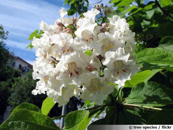 catalpa commun catalpa bignonioides planter cultiver multiplier. Black Bedroom Furniture Sets. Home Design Ideas