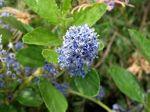 Céanothe arborescent, Céanothe odorant, Lilas de Californie, Ceanothus arboreus