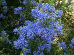 Lilas de Californie Puget Blue, Ceanothus impressus 'Puget Blue'