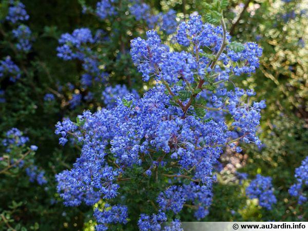 c u00e9anothe de santa barbara  lilas de californie  ceanothus