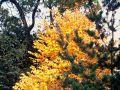 Arbre au caramel, arbre pain d'épice, arbre à gâteaux, katsura, Cercidiphyllum japonicum