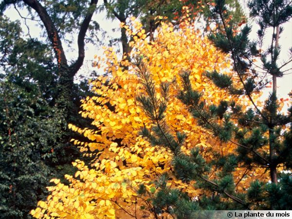 arbre au caramel arbre pain d 39 pice arbre g teaux katsura cercidiphyllum japonicum. Black Bedroom Furniture Sets. Home Design Ideas