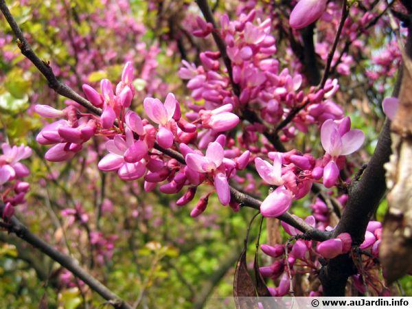L'arbre de Judée et sa floraison spectaculaire