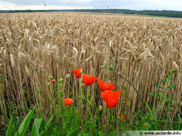 Céréales, source de protéines végétales
