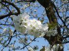La floraison des arbres fruitiers