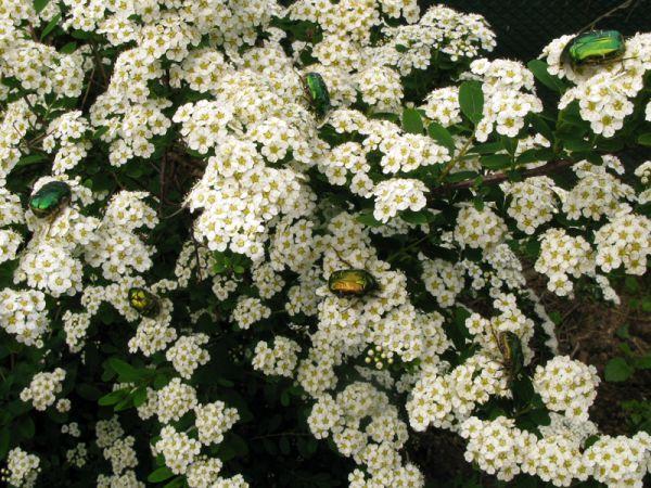 Des cétoines dorés butinant dans une spirée au printemps contribuant à sa pollinisation