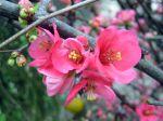Fleurs du Cognassier du Japon, Poirier du Japon, Cognassier � fleurs