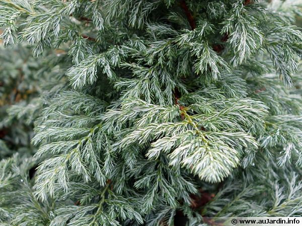 faux cypr u00e8s sawara  chamaecyparis pisifera   planter  cultiver