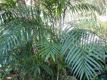 Palmier bambou du Costa Rica, Chamaedorea costaricana