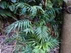 Palmier nain, Palmier de montagne, Chamédorée, Chamaedorea elegans
