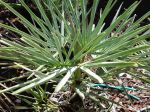 Jeune palmier nain bleu, Chamaerops humilis var cerifera