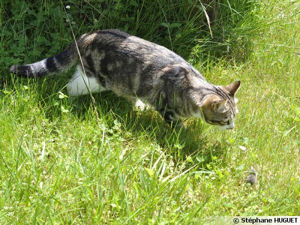 Le chat de gouttière est un bon chasseur