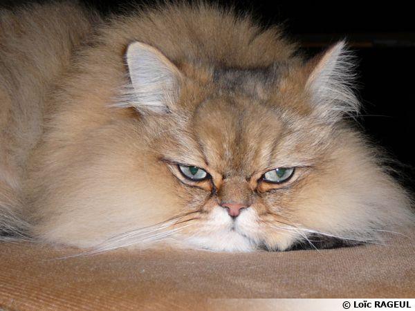 Un chat persan paisible