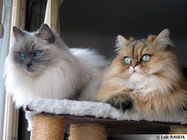 Deux chats paisibles et en bonne santé à la maison