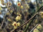 Chimonanthe, Chimonanthus praecox