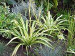 Plante araign�e, Phalang�re, Chlorophytum comosum