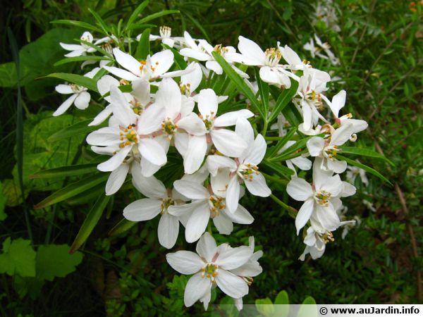 Oranger du mexique choisya ternata planter cultiver - Noms de fleurs et plantes ...
