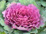 Chou d'ornement, Brassica oleracea var acephala