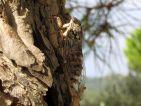 Cigale, Cicada orni