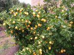 Comment récolter les citrons?