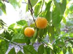 Bigaradier, Bouquetier, Oranger amer, Citrus aurantium