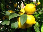 Oranger, Citronnier, Mandarinier, Pamplemoussier, Lime, Agrume, Citrus