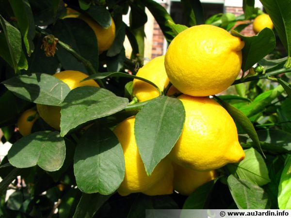 Oranger citronnier mandarinier pamplemoussier lime agrume citrus - Oranger du mexique feuilles jaunes ...