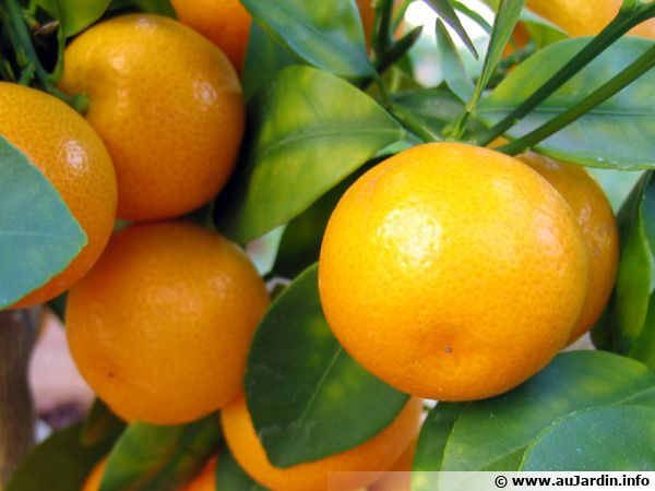 Calamondin Oranger D Appartement Planter Cultiver Recolter